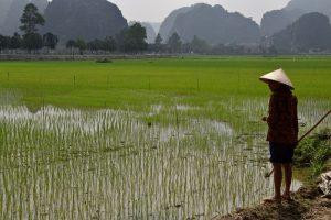 vietnam-rice-field